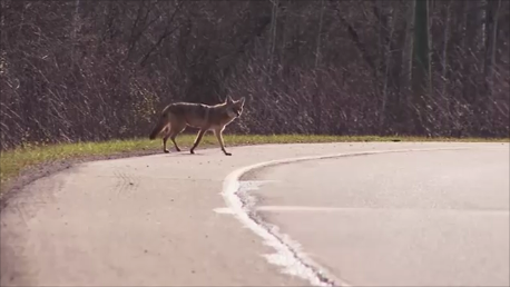 Coyotes In MMK