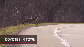 Coyotes In Town